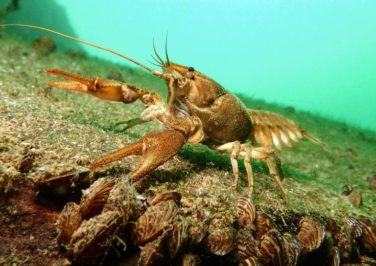 """British waters compact category third place """"British native crayfish"""" by Trevor Rees (UK) ・ Location: Stoney Cove, Leicestershire, England ・ """"The crayfish at this freshwater quarry are all native and there are a good number to be seen. I found the small form factor of a compact camera ideal for holding at arm's length to get a low angle and to get close to an individual that was nicely out in the open. The auto exposure only nature of my camera was restricting but..."""""""