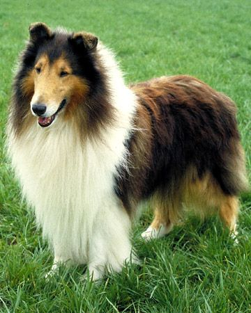 Another of my favorite breeds. My aunt and uncle have a huge Collie named Duke and he is such a great dog!