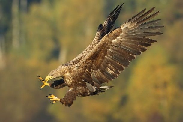 White-tailed Eagle Haliaeetus albicilla  #animal #white-tailed #eagle #haliaeetus #albicilla