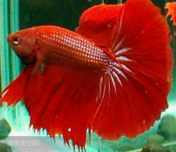 17 best images about bettafish on pinterest copper for Betta fish water