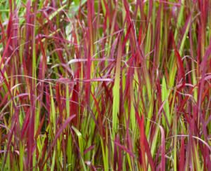 Best 25 red grass ideas on pinterest red plants for Red and green ornamental grass