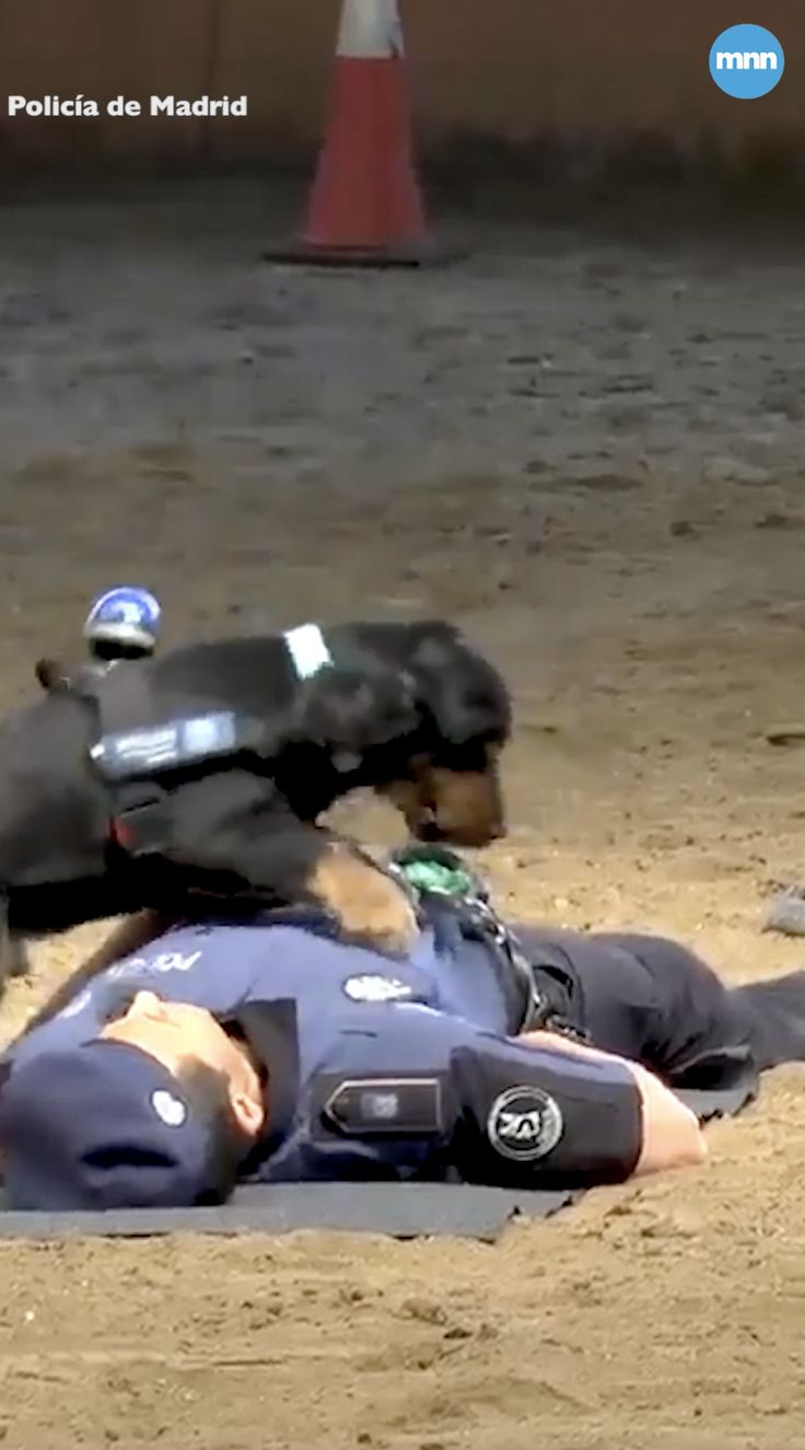 Poncho the police dog shows off CPR skills Videos