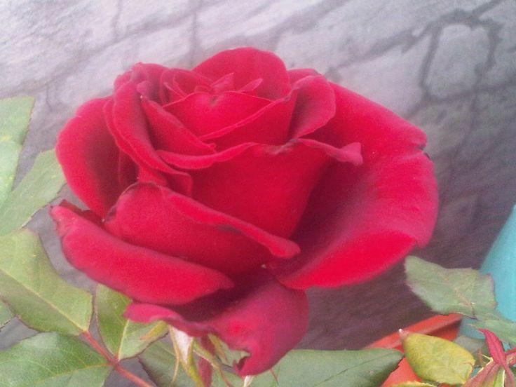Rosa del principio del verano.