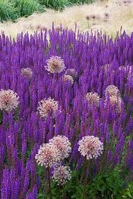 allium & salvia