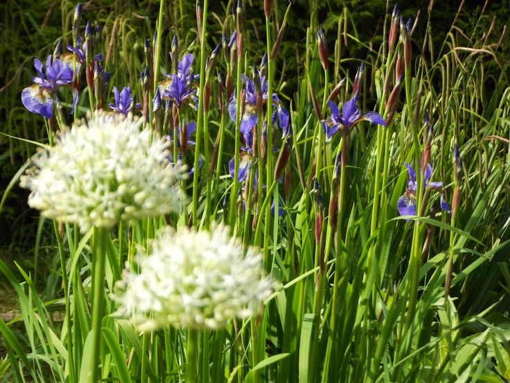 Iris Siberia with white Allium