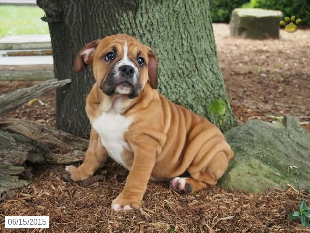 25 best Beabull Puppies images on Pinterest | English ...