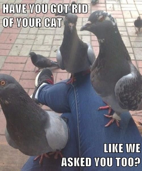 Pigeon Mafia Only Asks Once   Funny pictures, Funny photos ...