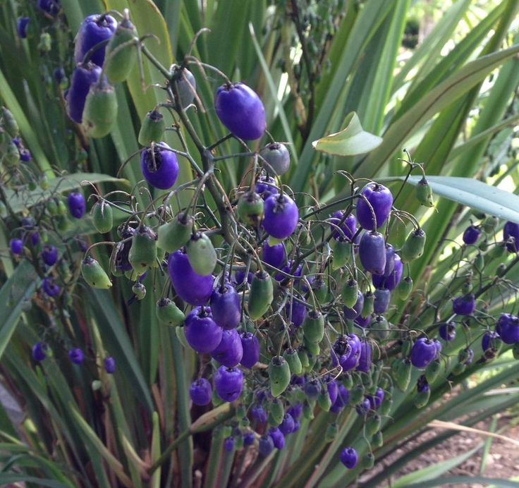 Photo of the fruit of Tasman Flax Lily (Dianella tasmanica) posted ...