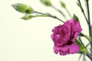 Carnations may be propagated by cuttings.
