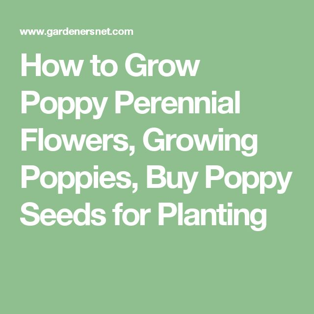 How to Grow Poppy Perennial Flowers, Growing Poppies, Buy Poppy Seeds for Planting