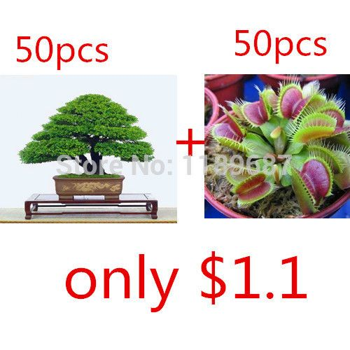 2 popular bonsai seeds 50pieces japanese pine tree 50 flytrap seeds for gift 11.11 promotion from today lowest price