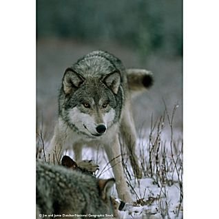 The Hidden Life of Wolves - National Geographic Store