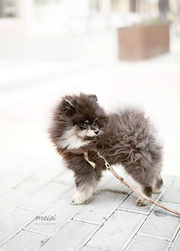 Pomeranian// I need him.