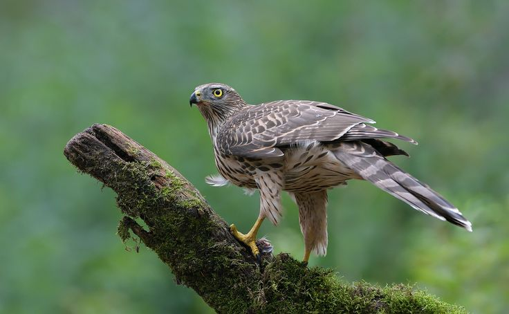 """On The Qui Vive - These beautiful birds (Northern Goshawk) are very attentive and constantly look around if something is moving in their environment.  ©<a href=""""http://www.hewaph.com"""">Harry Eggens</a>  Best wishes,  Harry"""