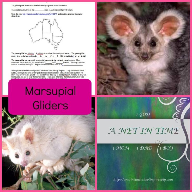 Learn about the greater glider, a marsupial glider from Australia.  Free printable included.   By A net In Time.
