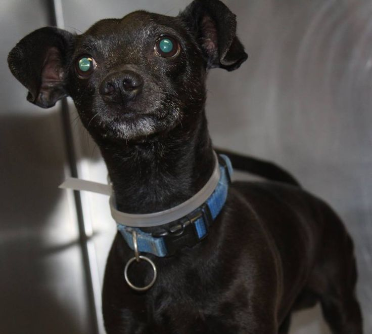 NAME: Smokey ANIMAL ID: 35700323 BREED: dachshund mix SEX: male EST. AGE: 7 yr Est Weight: 13 lbs Health: Heartworm neg Temperament: dog friendly people friendly ADDITIONAL INFO:RESCUE PULL FEE: $35 Intake date: 6/20Available: Now