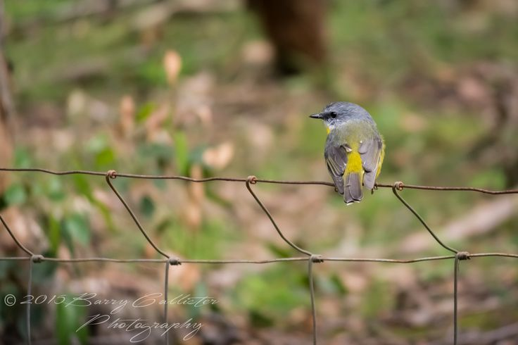 An Eastern Yellow Robin looking for its next bite to eat.