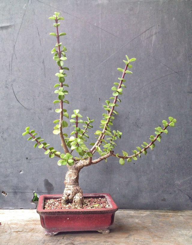 48 besten bonsai kakteen bilder auf pinterest bonsai. Black Bedroom Furniture Sets. Home Design Ideas