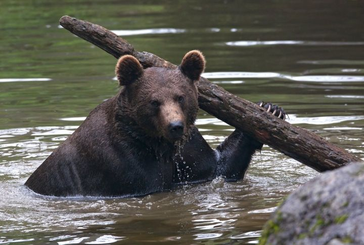 #БезБайкала #БайкалDOC #БайкалДок #экология #медведи  ЖДЁМ МЕДВЕДЯ СПРАВА, ЖДЁМ МЕДВЕДЯ СЛЕВА  Из дневника киноэкспедиции 11.07.2016: ...Сегодня местные обещали, что увидим медведя - один живет по берегу слева от нас, другой справа. Один еще юный, другой матерый. Приходят на берег из леса по вечерам лакомиться ручейниками. Это такие насекомые, которые заполняют пляжи Байкала в начале июля. Просто облепляют все: камни, растения, а медведи их едят. А потом купаются в море. Как наш гид…