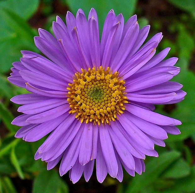 the  best aster flower tattoos ideas on   aster, Natural flower