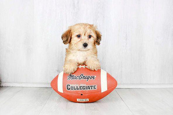 Puppies For Sale Columbus Ohio Sunrise Pups Small Breed