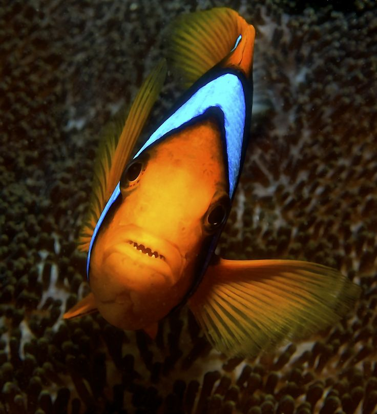17 best images about clown fish on pinterest keep for Blue clown fish