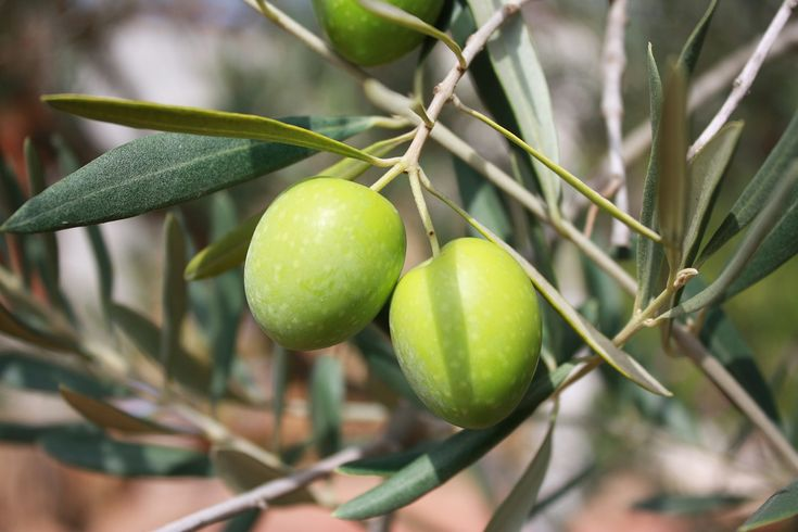 Zeytin yaprağının faydaları ve kullanımı http://www.sagliklibesin.net/2014/11/zeytin-yapraginin-kullanimi-ve-faydalari.html