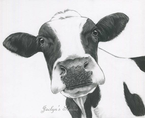 10 X8 Cow Print Charcoal Drawing Holstein Cow Art Cow Drawing