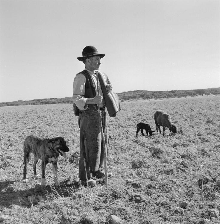 Pastor, Artur, 1922-1999. Alentejo. Pastor com manta, cão e ovelhas.