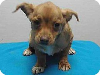 Downey, CA - Chihuahua Mix. Meet 17-12869, a puppy for adoption. http://www.adoptapet.com/pet/17344314-downey-california-chihuahua-mix