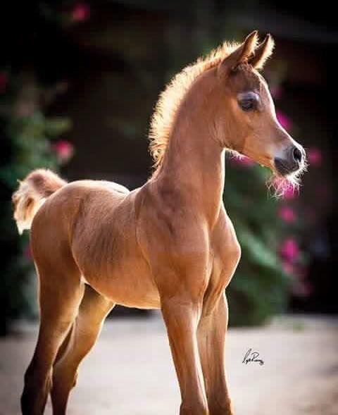 Egyptian Horse foal. Oh my this little horse is so cute! Adorable! Beautiful horse photography.