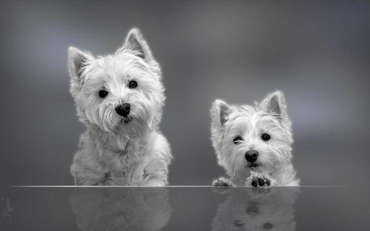Terrier blanco de montaña del oeste  Terrier blanco de montaña es una raza creada originalmente de terrieres de Cairn escoceses con el propósito de crear un perro que no fuese confundido con un zorro. Es por lo tanto, un perro de caza, y su carácter y sus instintos lo …