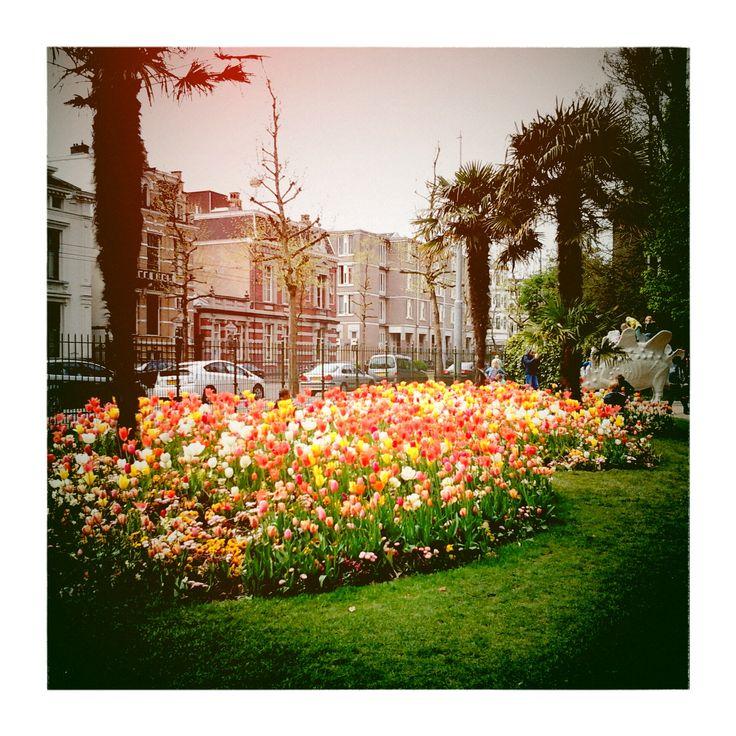 tulips in Artis