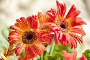 Gerbera jamesonii, Transvaal daisy