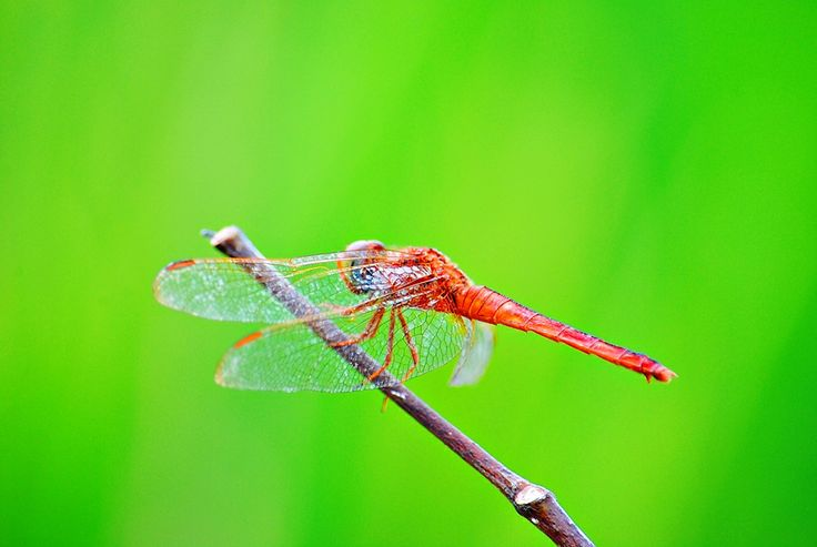 beautiful red Dragonfly spotted in my village region, Yogyakarta, Indonesia..