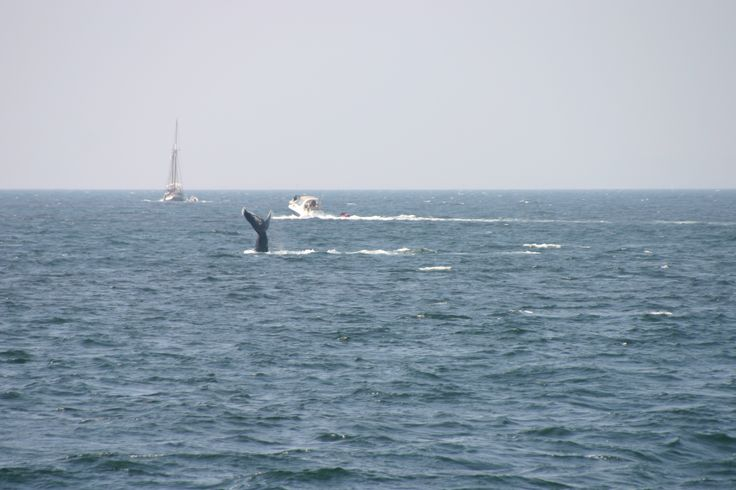 Avistamiento de Ballenas - Whale Watching  #PuertoVallarta #Jalisco #Mexico   #bahiadebanderas #whalewatching #whale   #humpback #humpbackwhale #ballena   #ballenajorobada #nature #animals   #rivieranayarit #salto #ocean   #VallartaByBoat #tours #oceanlove http://vallartabyboat.com/  https://www.facebook.com/vallartabyboat.pv/