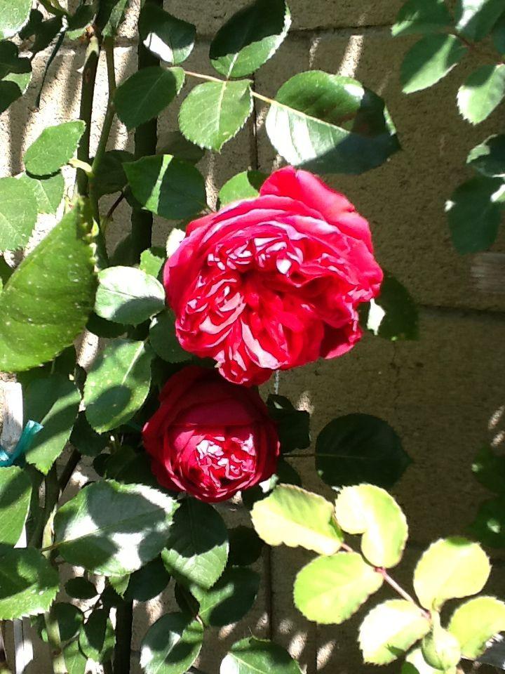 31 best best apricot roses to grow images on pinterest. Black Bedroom Furniture Sets. Home Design Ideas