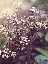Image result for anthriscus sylvestris 'ravenswing'