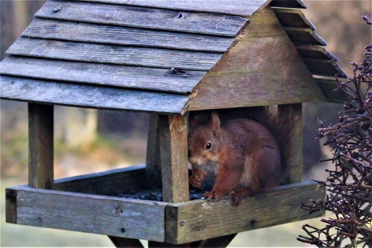 Besøg af et rødt egern til morgenkaffen - 23. marts 2017