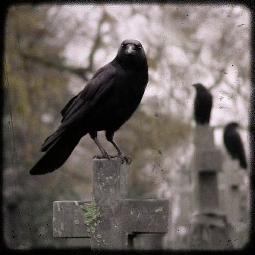 crows ravens rooks | Crows/Ravens / Poster by Gothic And Crows Art Photography