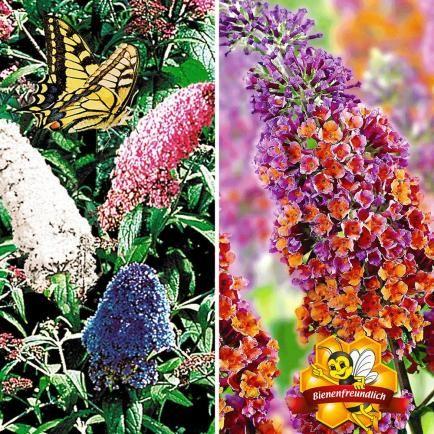Sommerflieder-Sortiment zum Vorteispreis,2 Pflanzen