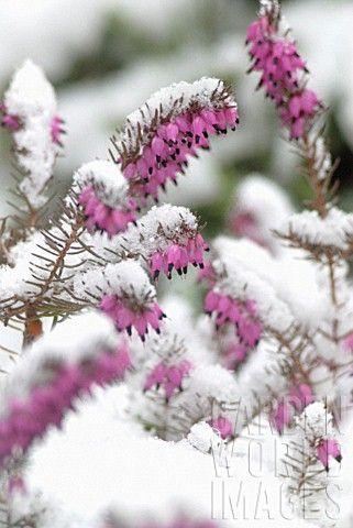 Erica carnea, Ericaceae, Winter heath, Winter Flowering Heather, Spring Heath