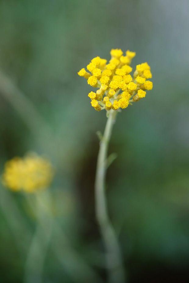 Elicriso - GranoSalis - Blog di cucina naturale e consapevole