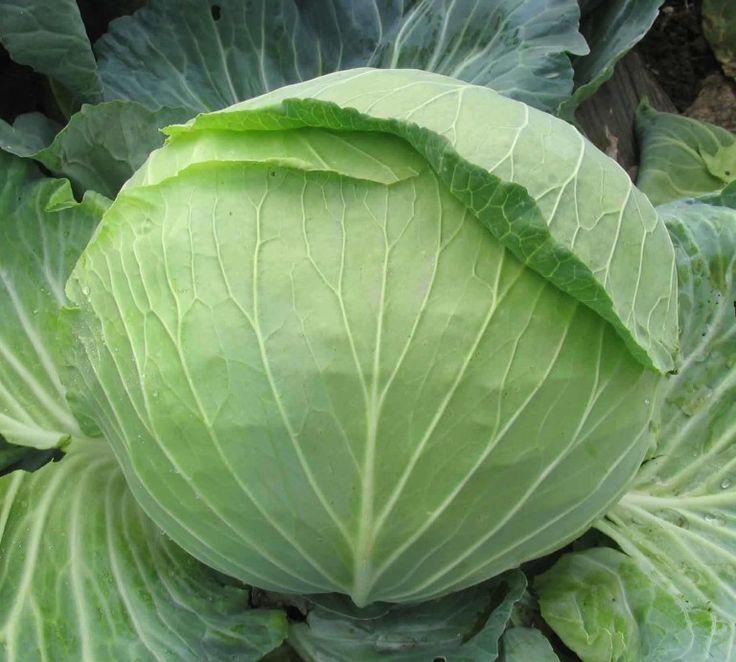 Как вырастить хорошую рассаду белокочанной капусты в домашних условиях: способы и приёмы.
