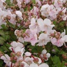 Geranium cantabrigiense (x) 'St Ola' - Storkenæb