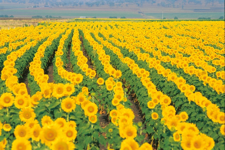 Fields of sunflowers!
