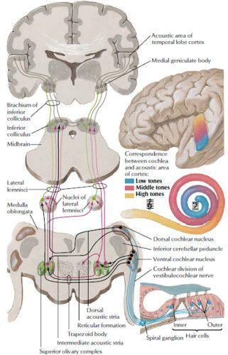 Auditory system anatomy