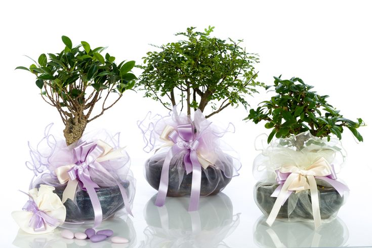Bomboniere Bonsai confezionate con organza bordata