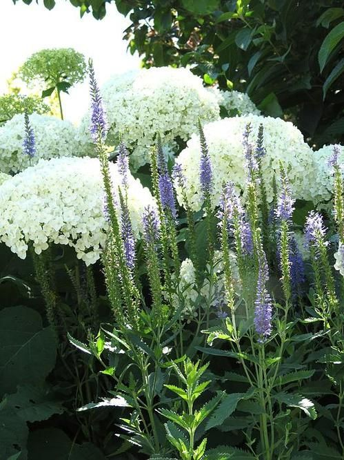 Love the contrast in forms between the hydrangea flowers (Annabelle ?) and the blue Veronica spires.