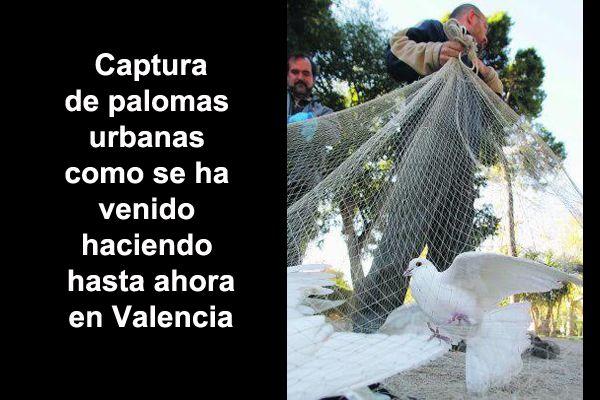 Esta es la forma que desde hace años y hasta ahora se venía haciendo para reducir el numero de palomas de la ciudad de Valencia. El sistema consistía en distribuir comida y cuando las aves acudían eran capturadas con grandes redes y luego eliminadas normalmente con gas.  #Control de la población de palomas urbanas #Palomas